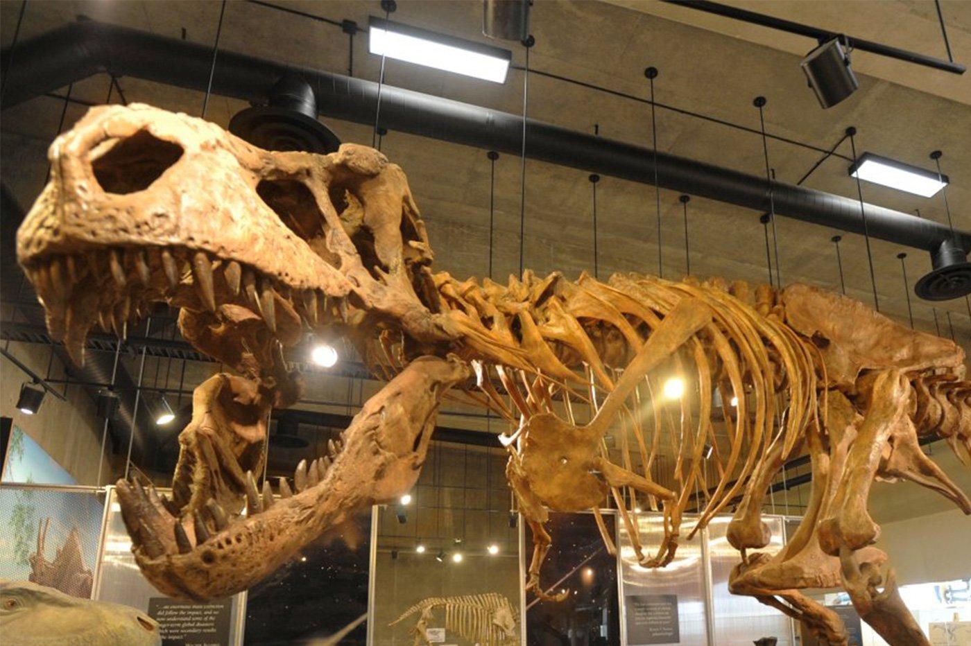 Scotty tyrannosaure