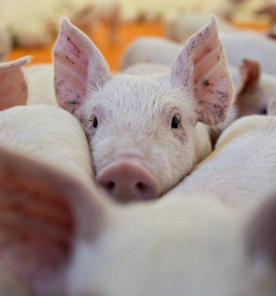 """Des chercheurs ont créé le premier """"cochon zombie"""""""