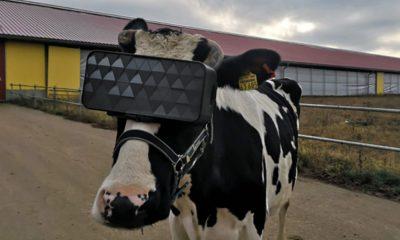 casque vr vache
