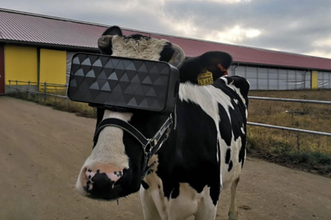 Leurs vaches s'éclatent grâce à la réalité virtuelle
