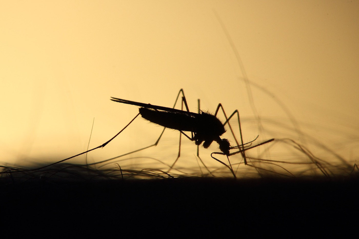 Moustiques genetiquement modifies