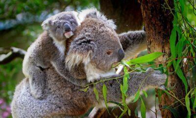 IA koalas